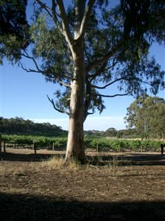 Gum tree and vineyard